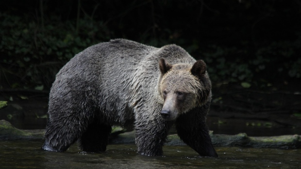 grizzly-bear-port-mc-neill-bc.jpg