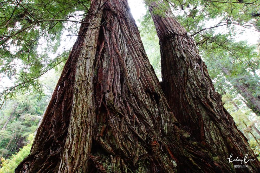 Redwoods.png