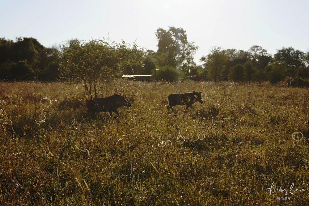 Warthogs in Bwabwata.jpg