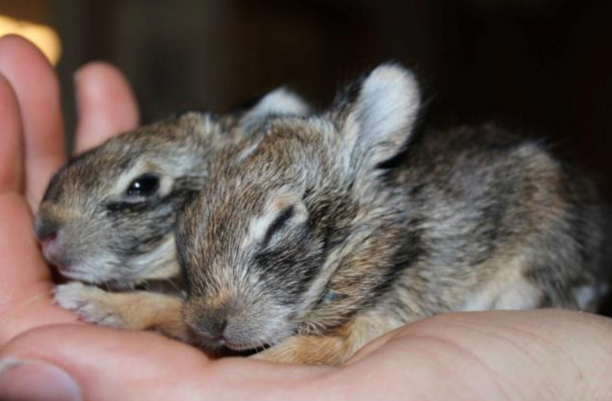 We still need help! - These baby bunnies have slick hair and their eyes are just beginning to open. If they are orphaned, they will need to be cared for by a rehabilitator.