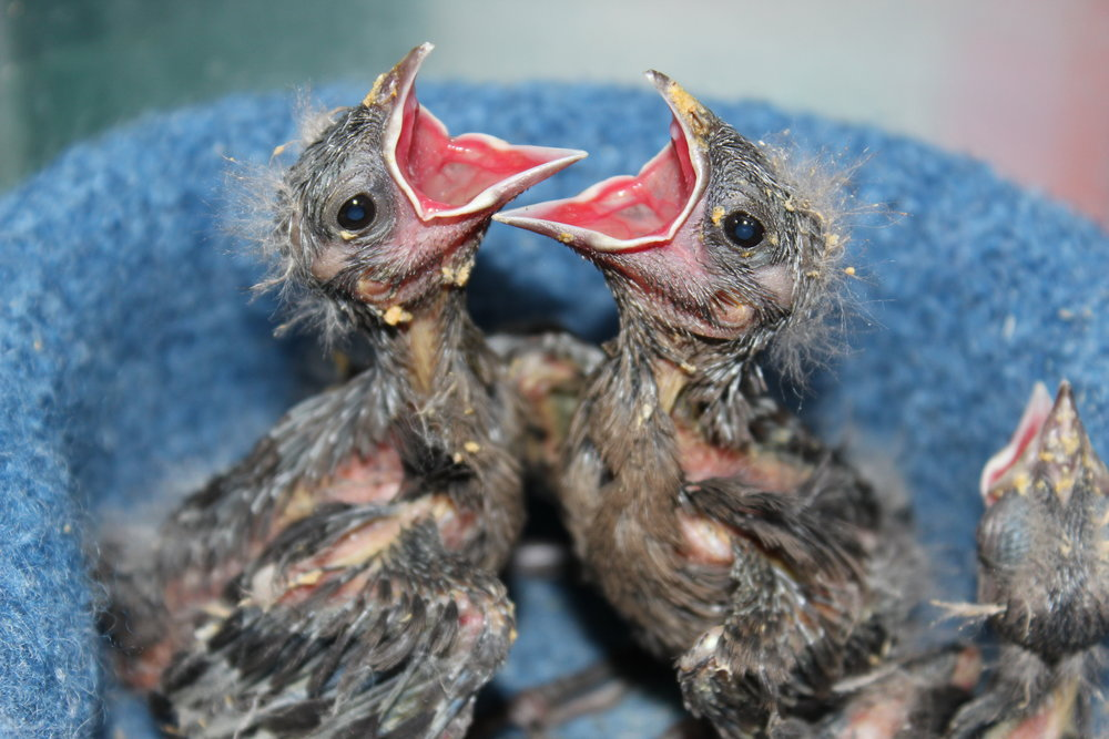 Nestlings - Nestlings like these are missing feathers, have fuzzy feathers on their heads, and are unable to stand up on your finger or a perch. If they are orphaned and you can't return them to their parents, they will need to be brought to a rehabilitator.