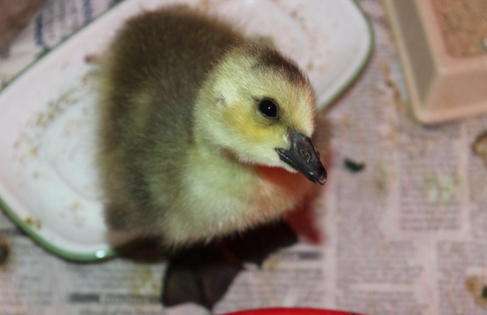 - Young goslings are gray and yellow with no distinct differentiation between the colors. They will often follow nearly anything that moves. If a mother goose can be found nearby, the baby can be