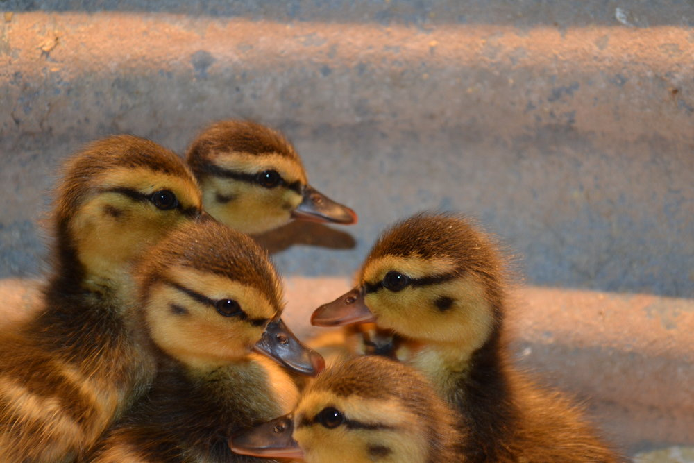 - Mallard ducklings have a distinctive line through their eyes. Mother ducks will not accept other babies, so ducklings need rescue more often than goslings do.