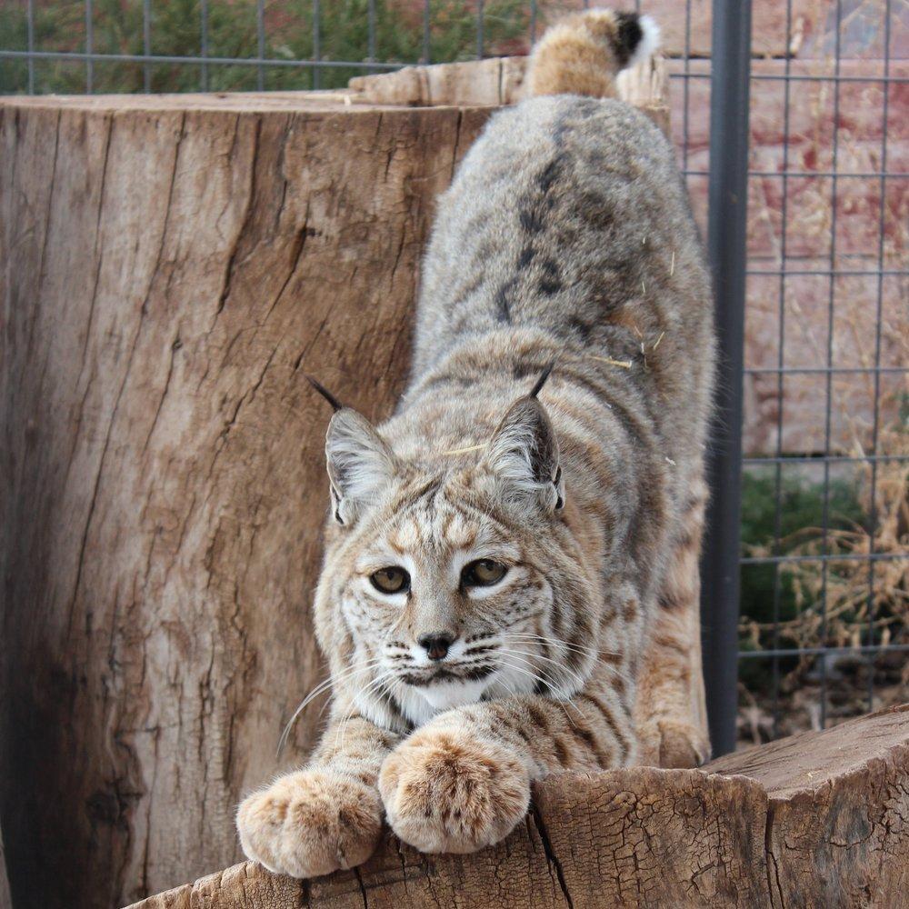 Bobby (Bobcat)