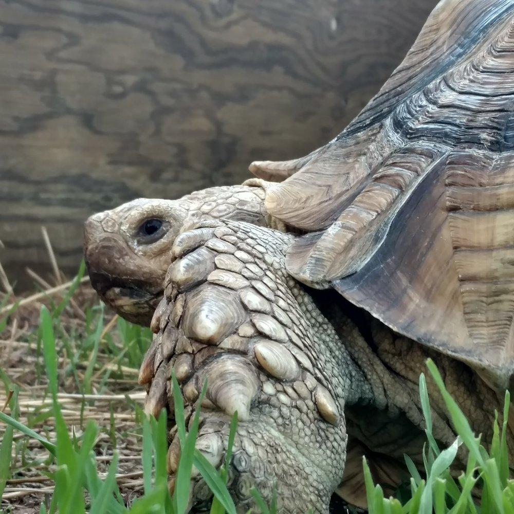 Angel (African Sulcata Tortoise)