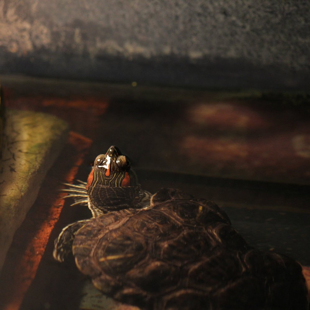 Bob (Red-Eared Slider Turtle)