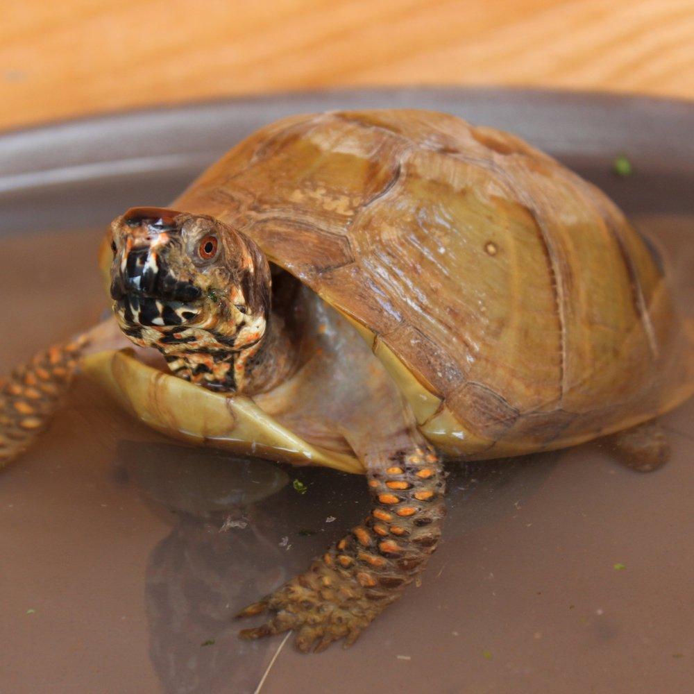 Stumpy (Box Tortoise)