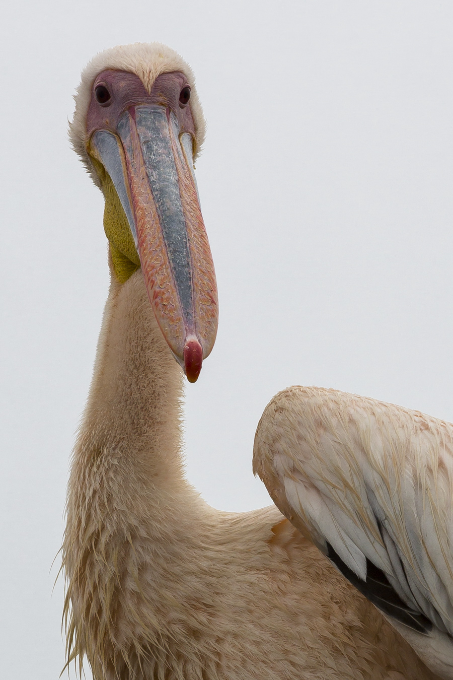 Southern Great White Pelican