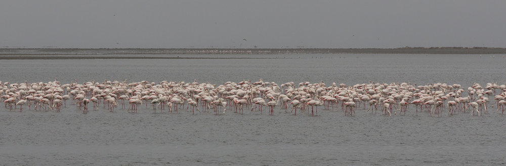 Greater Flamingoes in Walvis Bay