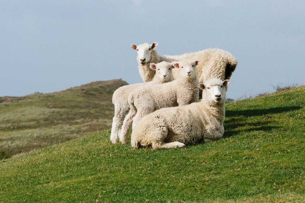 new-zealand-sheep-farm-cameron-zegers-photography.jpg