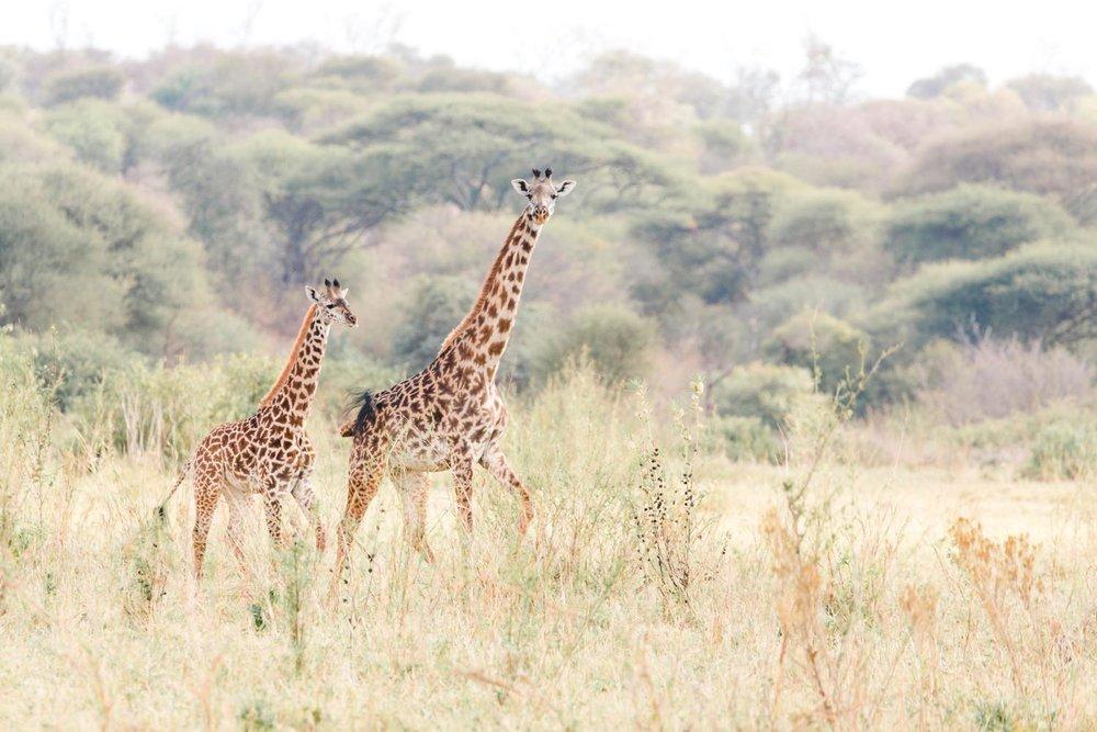 cameron-zegers-travel-photographer-tanzania-giraffe.jpg