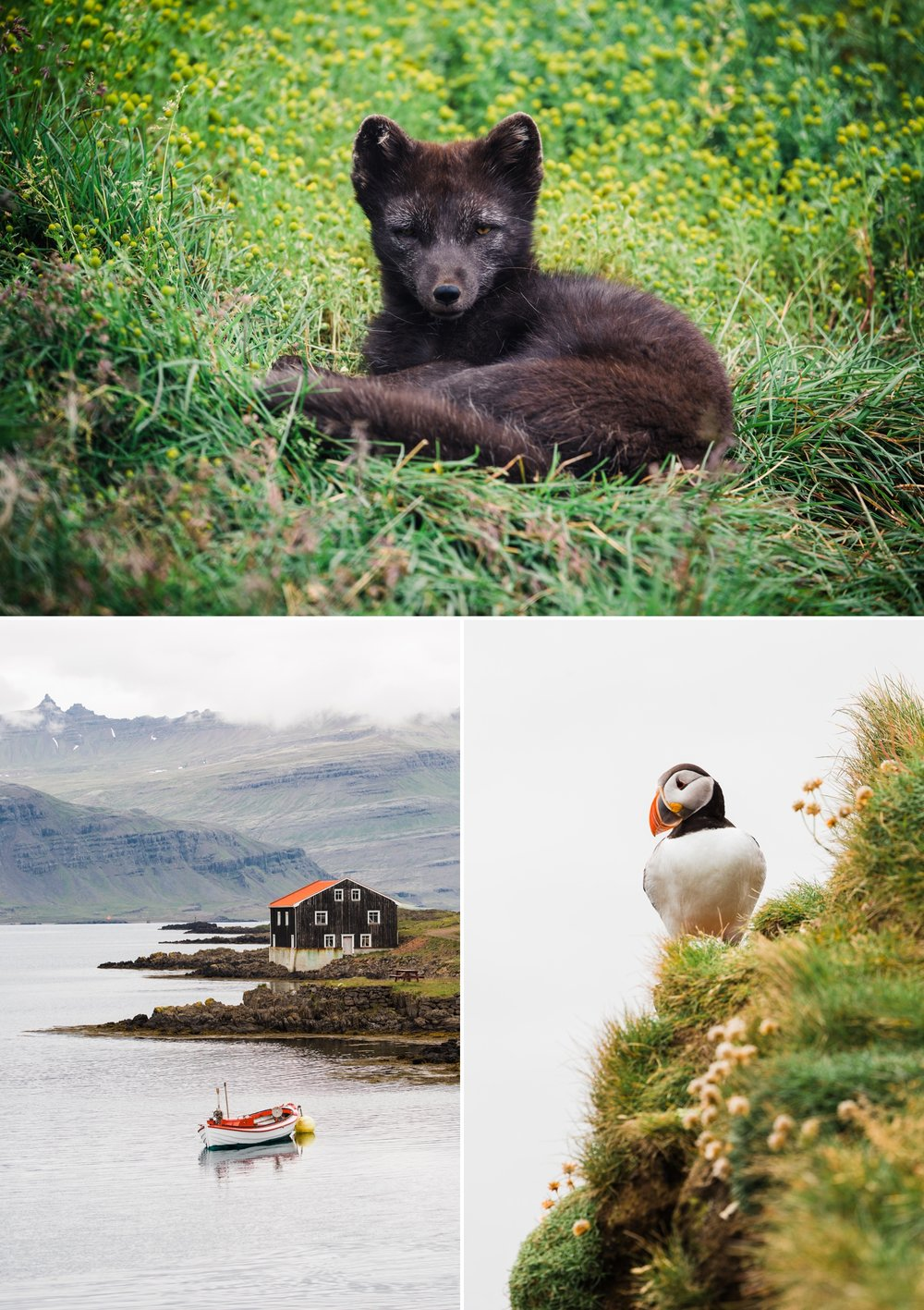 8-iceland-wildlife-arctic-fox-puffin.jpg