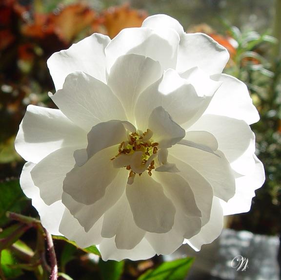 Rose-White-09938 cropped-mono.jpg