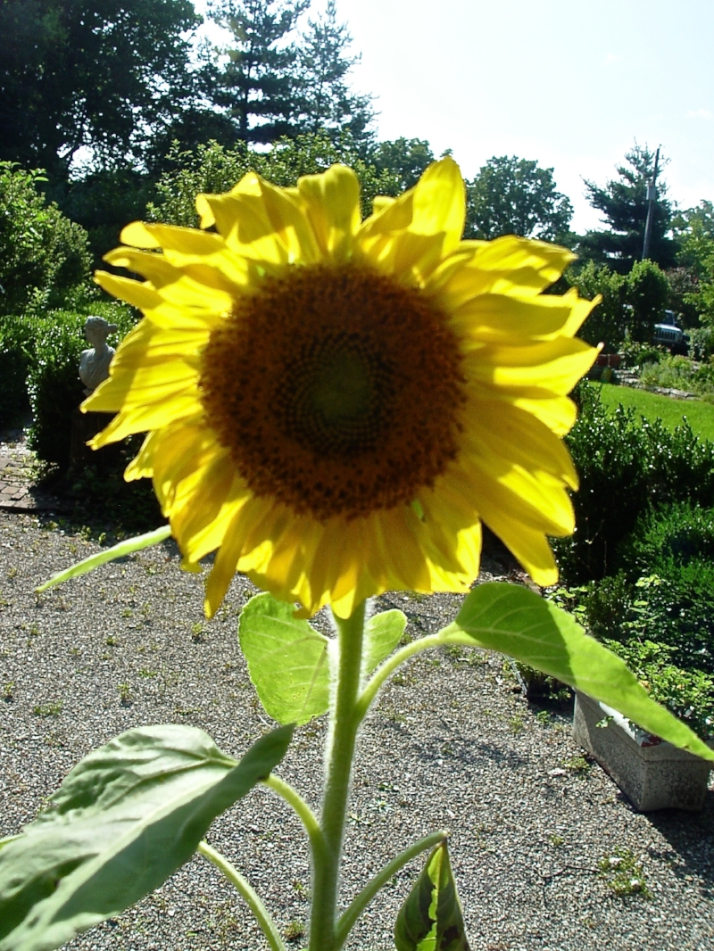Sunflower2015-08754.jpg