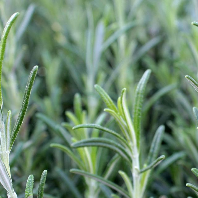 Can you smell it?! Rosemary. . Rosemary essential oil has super powers: + promotes hair growth - luscious locks, anyone? + supports memory - use when studying + soothing for the sinuses . Only dōTERRA brand, of course. Message me if you want to know more about essential oils and how you can use them to support health and wellness and replace toxic products. You can also follow along at @rachelppereira 🌱