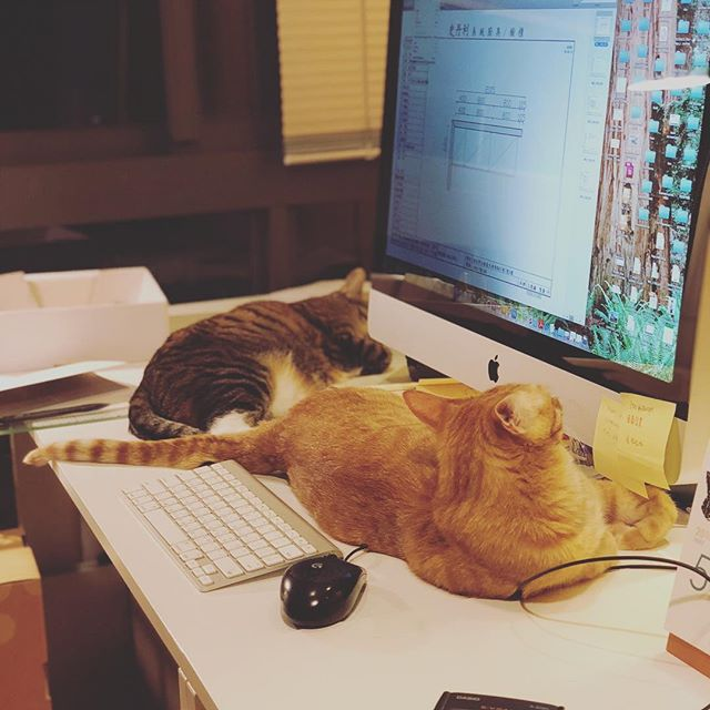 Late night working with Chacha and lily inbetween me and screen😑😩😆 #architectlife #architectures #beaarchitects #longnights #tired #acatthing #catsofinstagram #pusspussmag #catslover