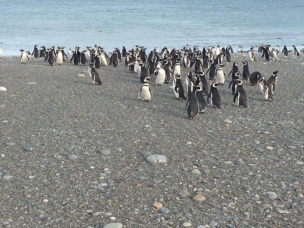 pingouinos tierre del fuego temporada nacimientos naissance pingouins.JPG