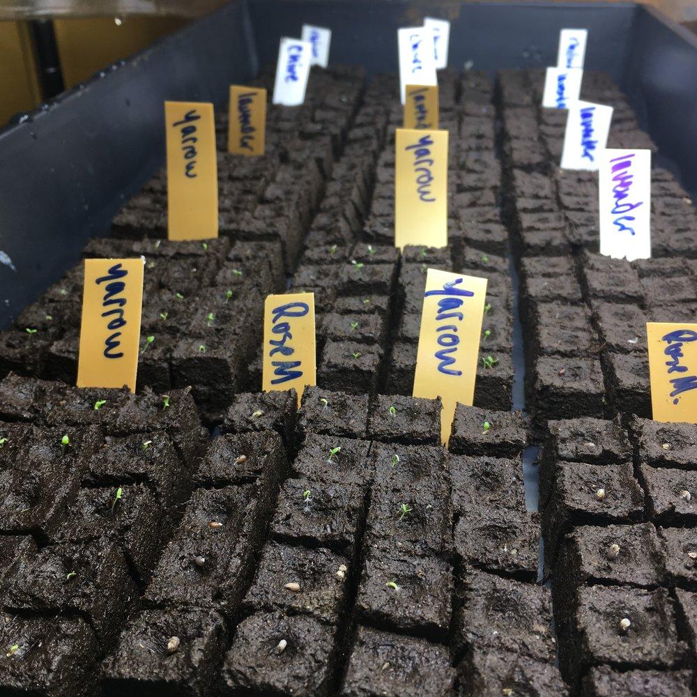Anchorage-Alaska-seed-starting-with-soil-blocks.JPG