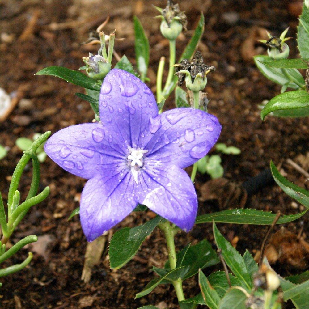 Flower Bellflower.jpg