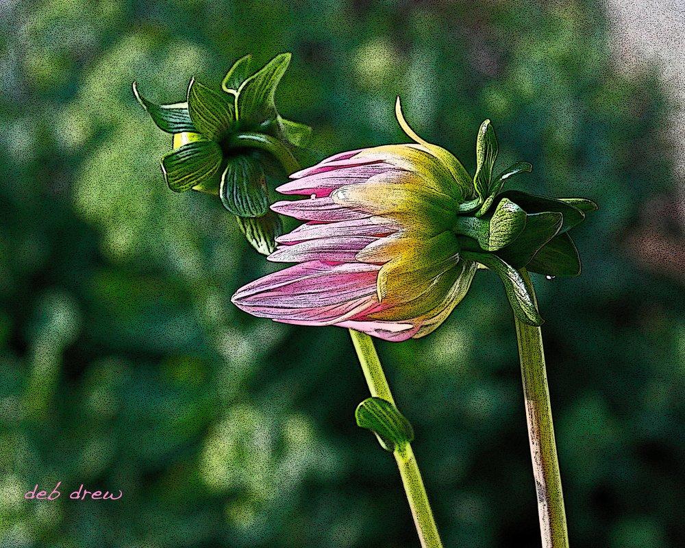 Flower Chrysanthymum.jpg