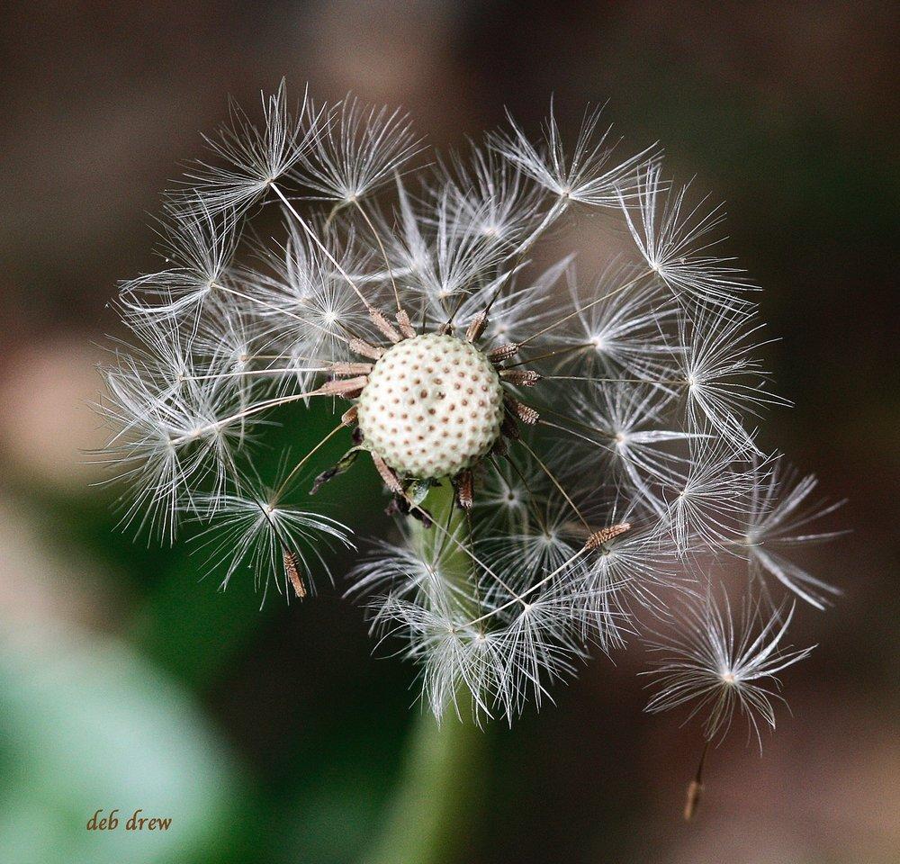 Flower Dandelion (2).jpg