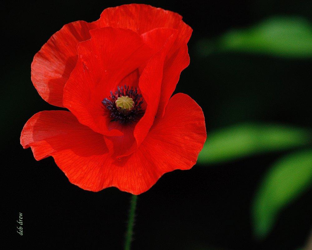 Flower Poppy.jpg
