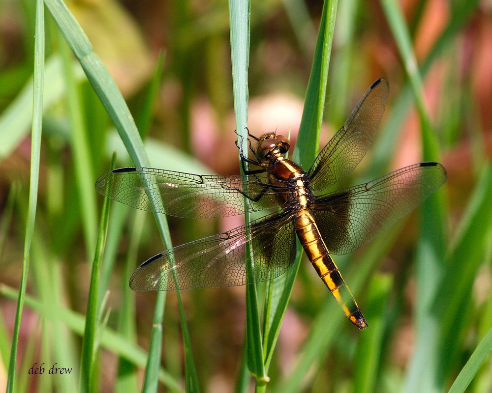 BUGS Dragonfly _MG_5880_2.jpg