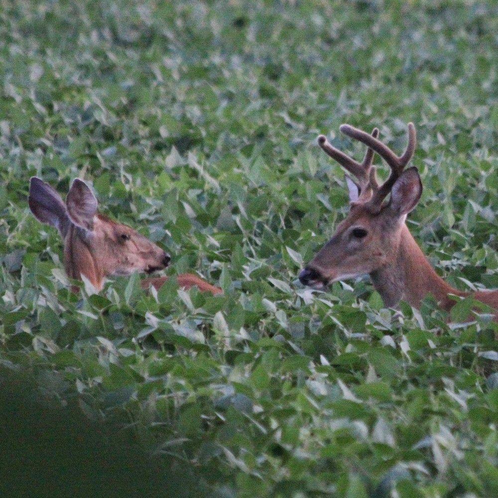 Deer Field Buck IMG_1704 – Version 2.jpg
