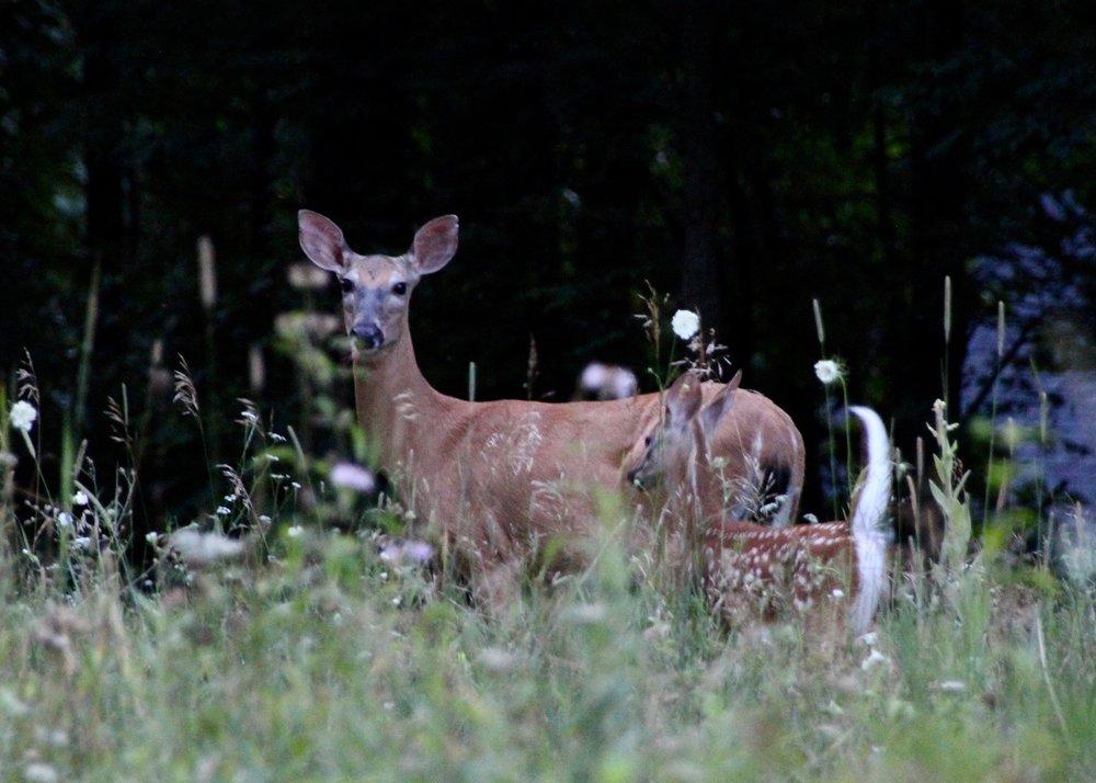 Deer (4).jpg