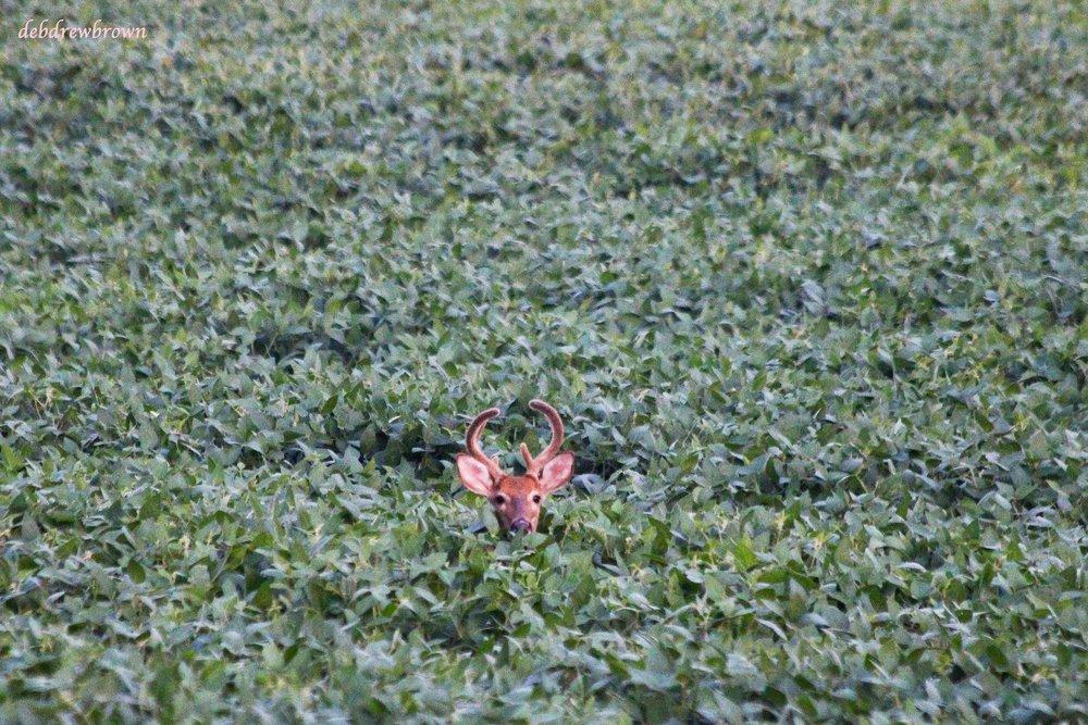 Deer Field Buck IMG_1688.jpg
