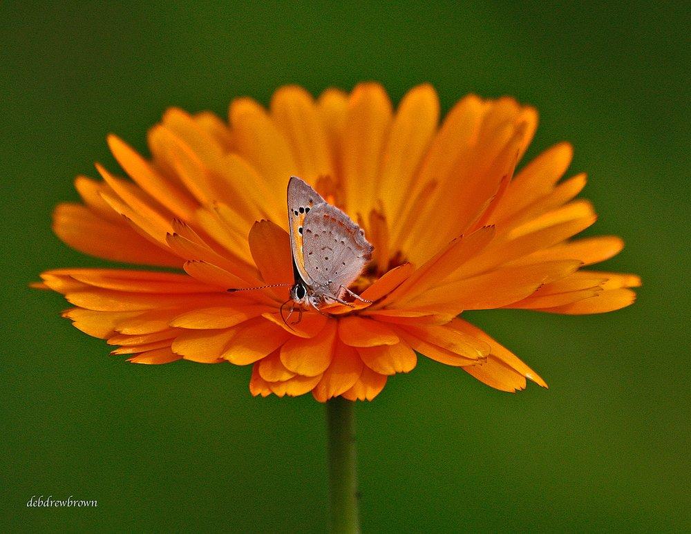 Butterfl Mies Moth on Orange flower Sweden _MG_7310.jpg