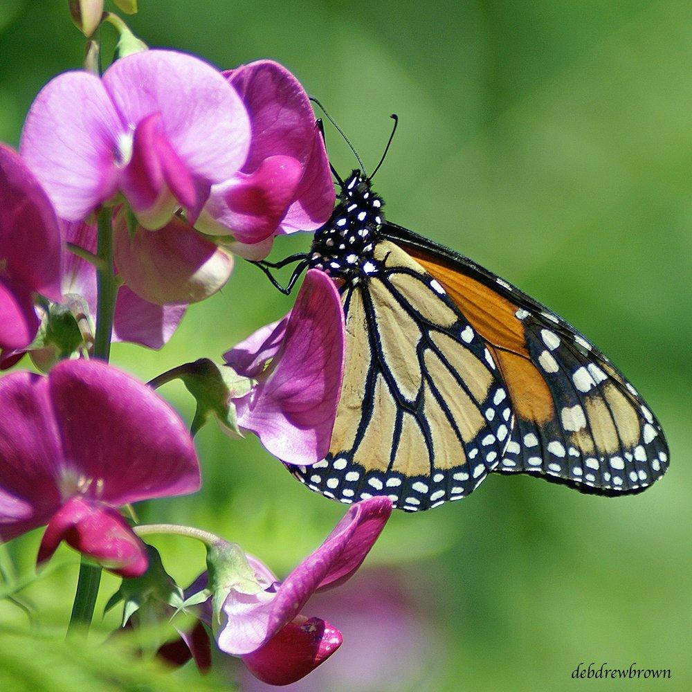 Butterfly Monarch 4.9MB DSC03455_2.jpg