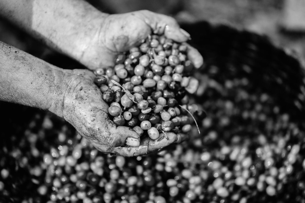 Two hands holding a pile of freshly picked coffee cherries