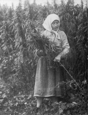 Cannabis_harvesting_(USSR,_1956).png
