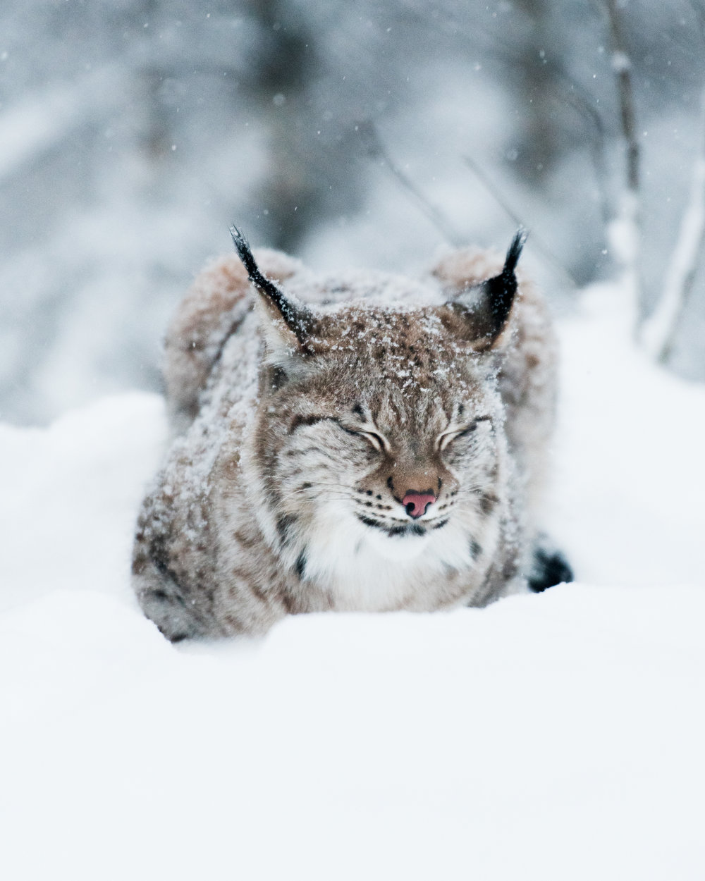 Lynx in Northern Norway