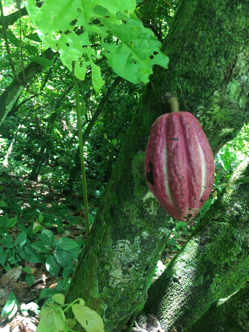 Cacao pod on tree in Isla Bastimentos,Bocos del Toro,Panama at Up in the Hill organic farm
