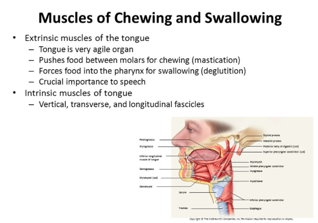 Day 5 Muscles of Chew & Swallow.png