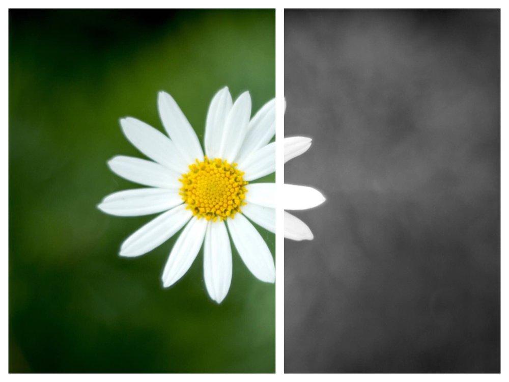 daisy-bw.jpg