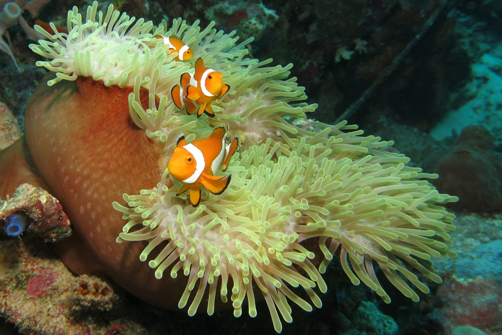 - Anenome Fish by Ian Patterson
