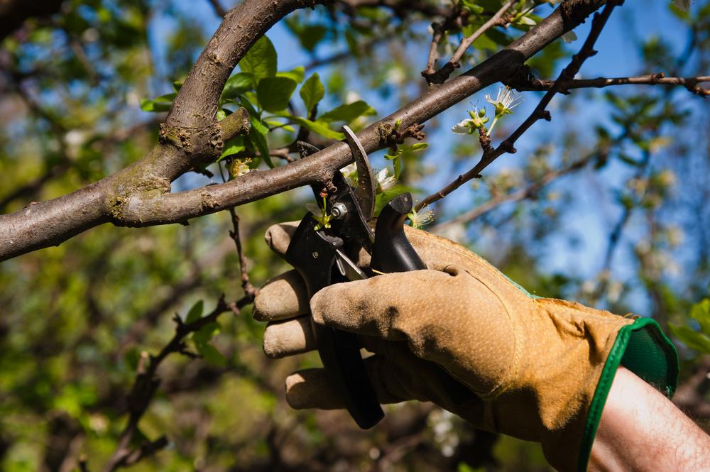 Tree-Pruning3.jpg