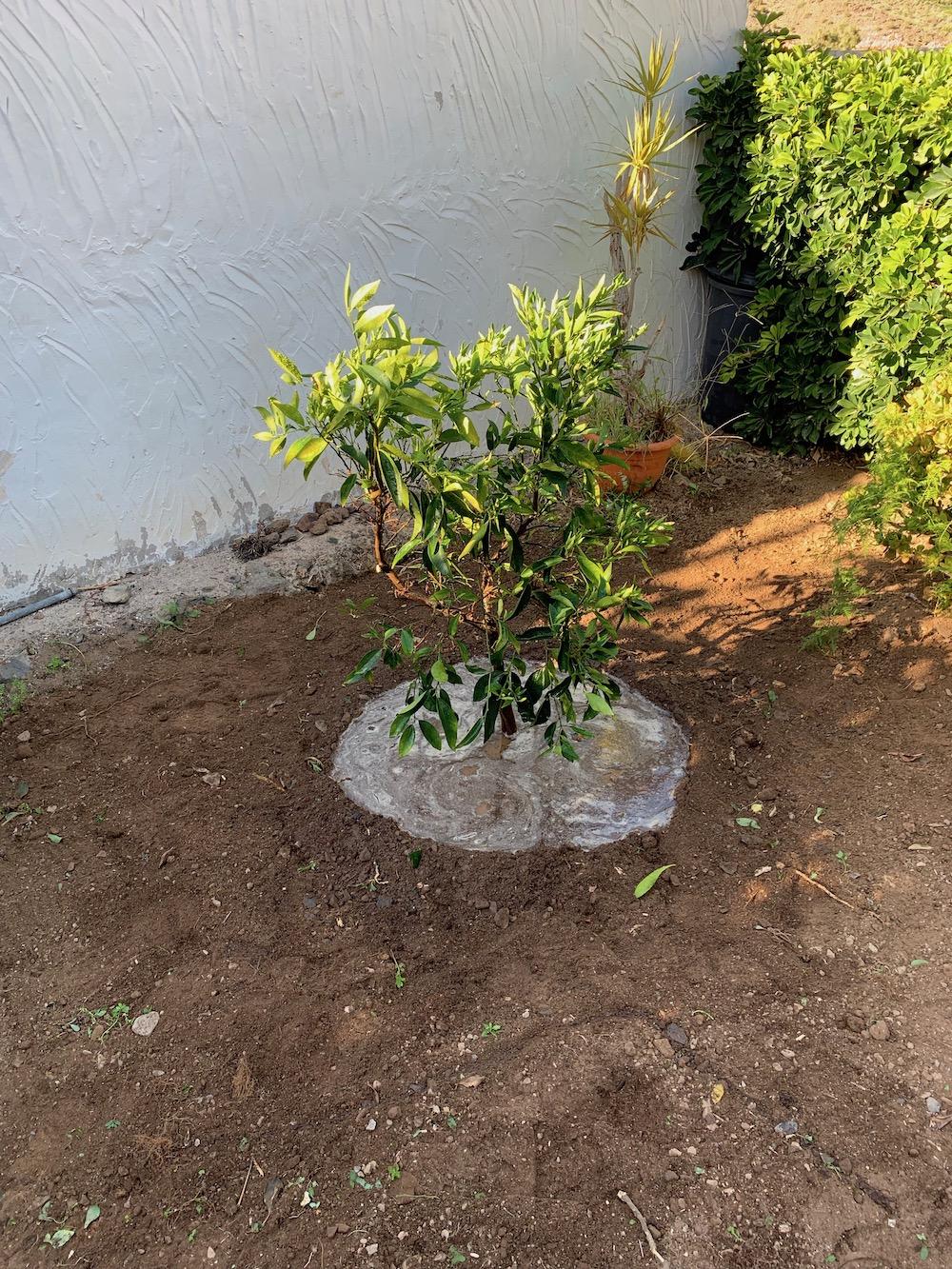 Og her er det nye appelsintreet på plass. Det skal vannes mye, særlig i begynnelsen: Hver dag den første uken, og så to ganger pr. uke.