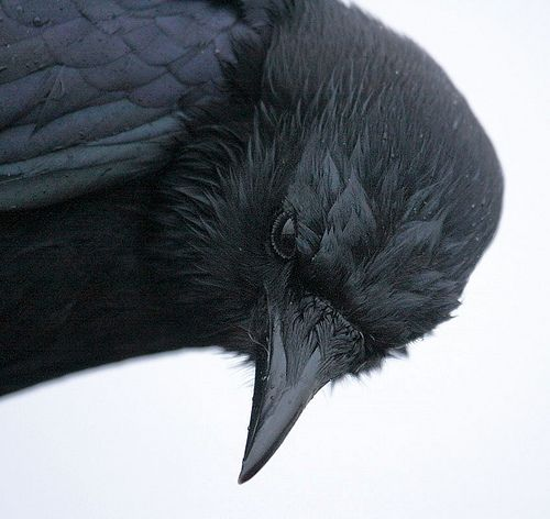 close crow.jpg
