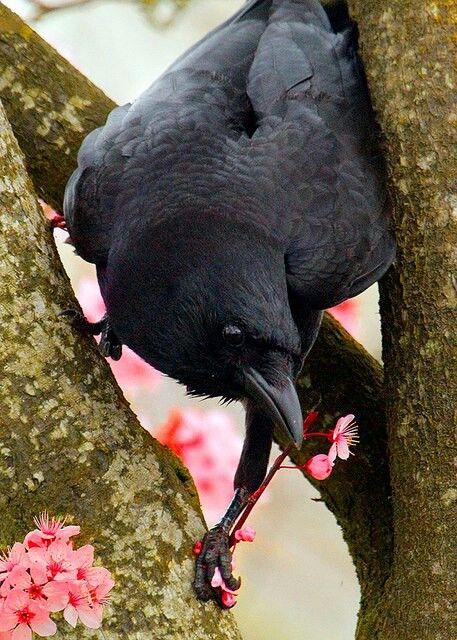 cherry crow.jpg
