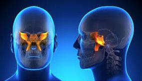 The sphenoid bone illuminated, floating inside the skull.