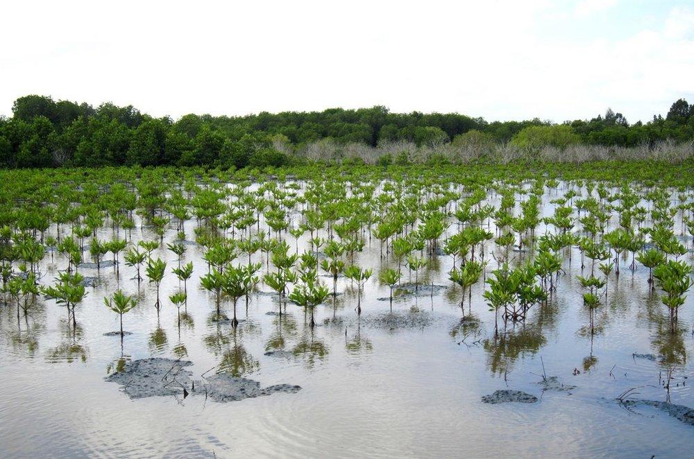 Mangroves Senegal (2).jpg