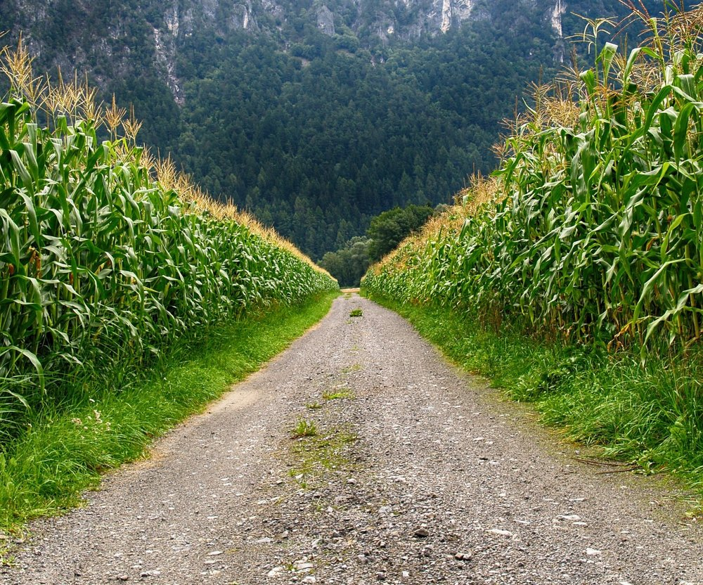 road+through+corn.jpg