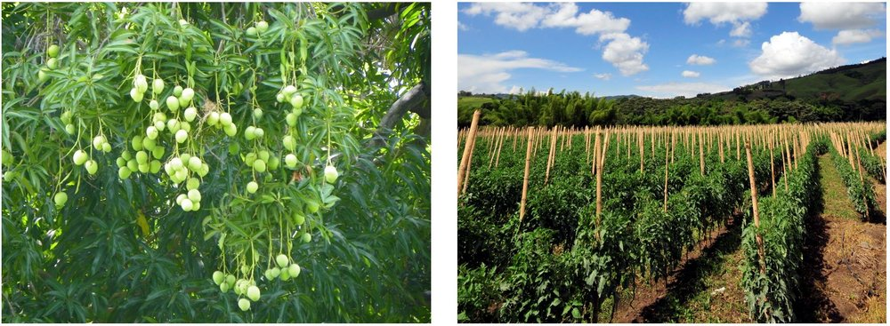 Avocados Hanging from Tree,  J. Stephen Conn ; Tomato Crops,  Neil Palmer (CIAT)