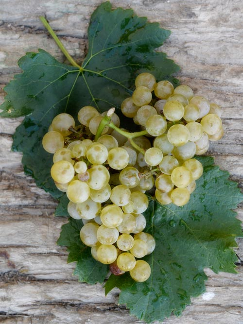 uva-blanca-castilla-leon.jpg