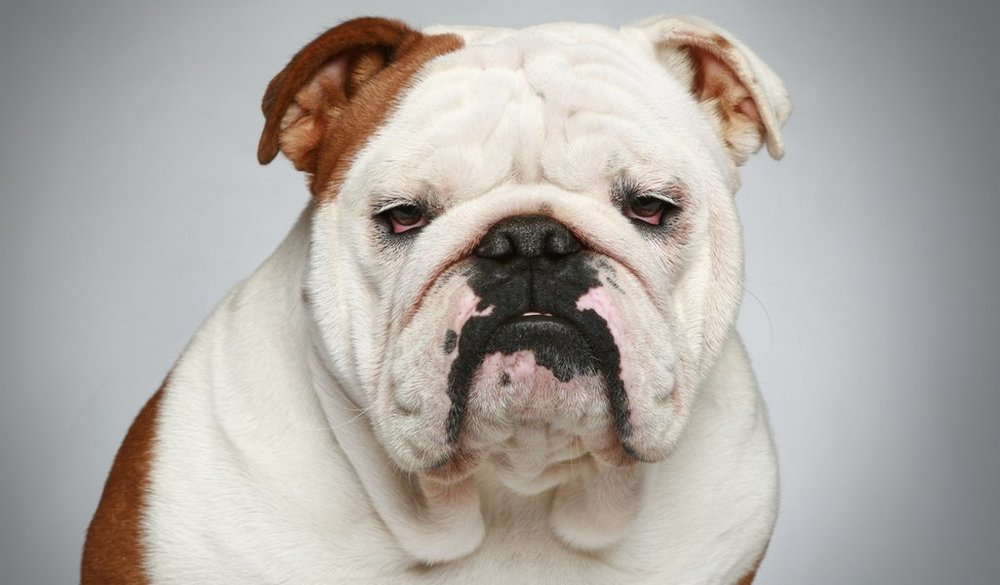 Bulldog-Breed-Profile-2.jpg