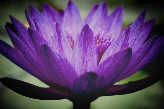 Purple-Lotus-side-3-by-5.jpg
